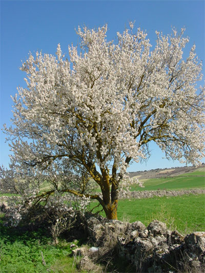 almond tree in Spain